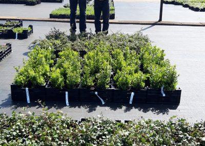 planten naar veiling gebracht
